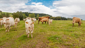 Herd of cows. At the pasture Royalty Free Stock Photo