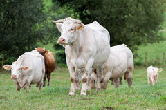 Herd of cows. At the pasture Stock Photo