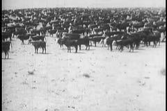Herd of cows in pasture stock video