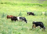 A herd of cows on the pasture Stock Photography