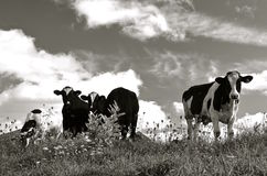 Herd of cows in pasture(black and white) Royalty Free Stock Photo