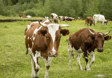 Herd of Cows in Pasture. Herd of brown and white cows is walking in pasture Stock Photo