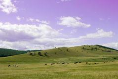 Country side landscape with blue sky, clouds and field with trees. Herd of cows in a pasture on green grass at hills. Herd of cows in a pasture on green grass Royalty Free Stock Photos