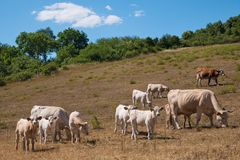 A herd of cows on the pasture. On the summertime royalty free stock photography