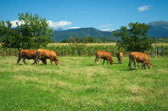 Herd of cows on pasture Stock Photo