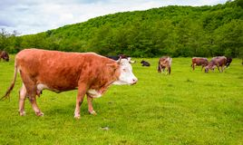 Herd of cows on a pasture in mountains. Big rufous cow in the foreground and forest in the distance. lovely scenery in springtime Royalty Free Stock Photography