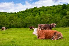 Herd of cows on a pasture in mountains. Fat rufous cow lay on the ground. lovely scenery in springtime Stock Photos
