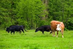 Herd of cows on a pasture near the forest. Big rufous cow in the foreground and forest in the distance. lovely scenery in springtime Royalty Free Stock Image