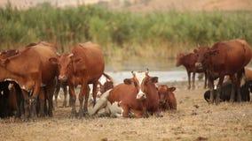 Herd Of Cows stock video