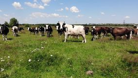 Herd of cows on pasture, summer, Ukraine. Fly forward on drone stock video footage
