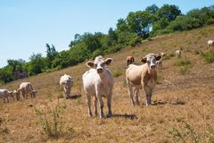 A herd of cows on the pasture. On the summertime stock photography