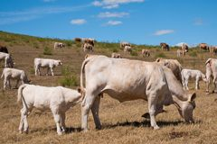 A herd of cows on the pasture. On the summertime royalty free stock photos