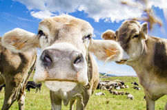 Herd of cows. Portrait of cows in Alpine meadow with blue sky and cloudscape background Royalty Free Stock Photo