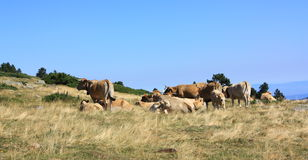 Herd of cows in Pyrenees Stock Images