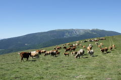 Herd of cows in Pyrenees. France stock images