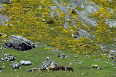 Herd of cows in  Pyrenees mountains Royalty Free Stock Photos