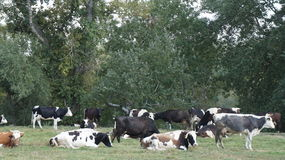 Herd of cows Royalty Free Stock Photography