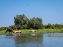 Herd of cows resting Royalty Free Stock Photos