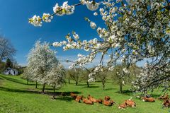 Herd of cows resting in midst of an orchard with blossoming trees and enjoying the fresh green grass. A herd of cows resting in midst of an orchard with royalty free stock photo