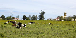 Herd of cows resting in Uruguay. Royalty Free Stock Photo