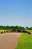 A herd of cows and the road. Royalty Free Stock Image