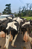 Herd of cows on road blocking traffic Royalty Free Stock Photo