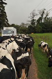 Herd of cows on road blocking traffic Royalty Free Stock Photography