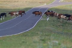 A herd of cows on the road in the steppe royalty free stock photos