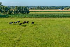 A herd of cows running across a green meadow stock photo