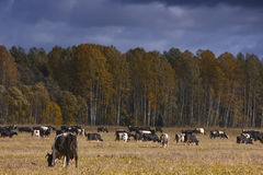 A herd of cows, Russia Stock Image