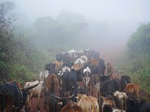 Herd of cows Safari Ngorongoro - Tarangiri in Africa. Shepherds in Africa, cows pets, fog, fog in the mountains, beautiful view of Africa, pride, beautiful royalty free stock photos