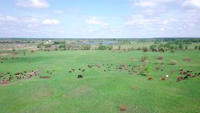 Herd of cows and sheep on a green meadow sky view stock video footage