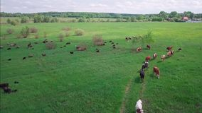 Herd of cows and sheep on a green meadow. Drone view stock video