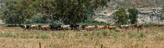 Herd of cows, Kefalonia Greece stock photography