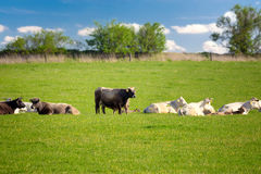 Herd of cows at spring green field Royalty Free Stock Images