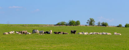 Herd of cows at spring green field Stock Images