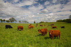 The herd of cows on spring meadow Royalty Free Stock Photos
