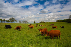 The herd of cows on spring meadow Royalty Free Stock Photography