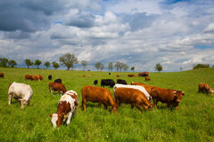 The herd of cows on spring meadow Stock Images