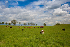 The herd of cows on spring meadow Stock Photography