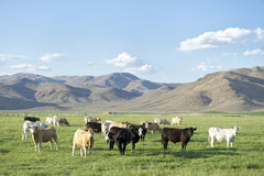 Herd of Cows Standing Rural Field with Mountains Stock Images