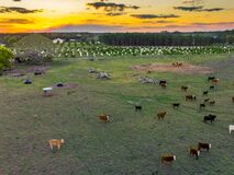 A herd of cows standing on top of a grass covered field