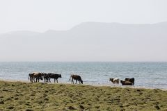 A herd of cows stands on the bank of Song Kul Lake. In Kyrgyzstan Royalty Free Stock Image