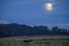 Virginia Cows under a Full Moon. A herd of cows stands in a field at dusk under a rising full moon in Lexington, VA, June 2018 Royalty Free Stock Photo
