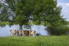 A herd of cows stands under a tree Royalty Free Stock Photography