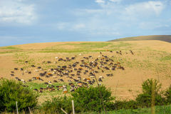 Herd of cows in steppe. Herd of cows in endless steppe and grassland in Kazakhstan Royalty Free Stock Photography