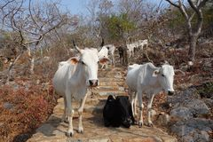 Herd of Cows on Stone Stairs royalty free stock photography