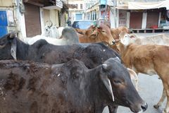Herd of Cows in the Streets Stock Photography