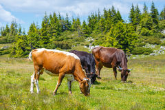 Herd of cows. At summer green field royalty free stock photos