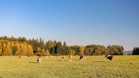 Herd of cows at summer green field royalty free stock images